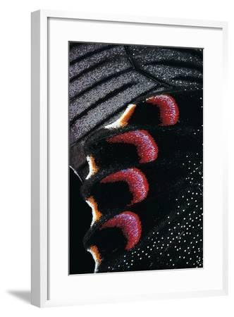 Papilio Arcturus (Blue Peacock) - Wings Detail-Paul Starosta-Framed Photographic Print
