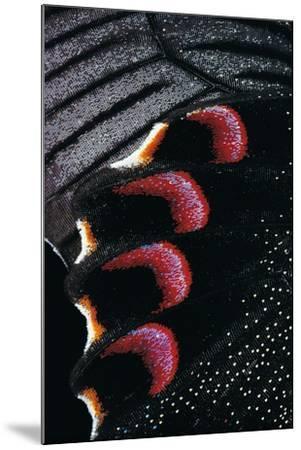 Papilio Arcturus (Blue Peacock) - Wings Detail-Paul Starosta-Mounted Photographic Print
