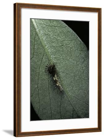 Morpho Peleides (Blue Morpho) - Newly Hatched Caterpillar-Paul Starosta-Framed Photographic Print
