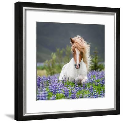Horse Running by Lupines-Arctic-Images-Framed Photographic Print