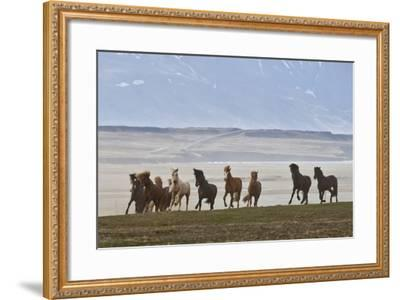 Herd of Icelandic Horses Running, Northern Iceland-Arctic-Images-Framed Photographic Print