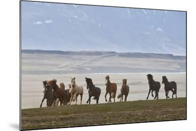 Herd of Icelandic Horses Running, Northern Iceland-Arctic-Images-Mounted Photographic Print