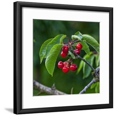 Cherries, Norway-Arctic-Images-Framed Photographic Print