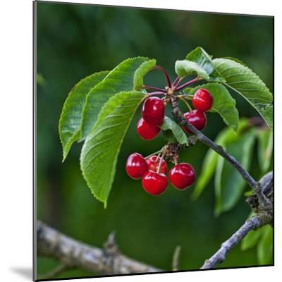 Cherries, Norway-Arctic-Images-Mounted Photographic Print