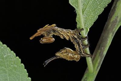 Stauropus Fagi (Lobster Moth, Lobster Prominent) - Caterpillar-Paul Starosta-Framed Photographic Print