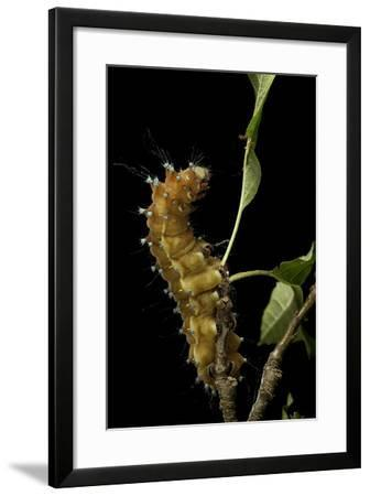 Saturnia Pyri (Giant Peacock Moth, Great Peacock Moth, Large Emperor Moth) - Caterpillar before Pup-Paul Starosta-Framed Photographic Print