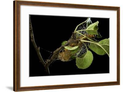 Saturnia Pyri (Giant Peacock Moth, Great Peacock Moth, Large Emperor Moth) - Caterpillar Spinning C-Paul Starosta-Framed Photographic Print