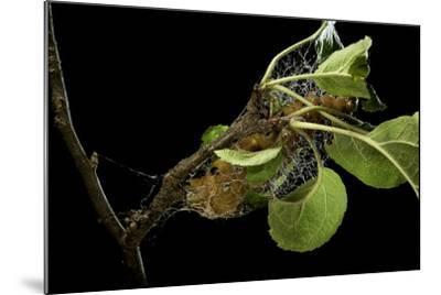 Saturnia Pyri (Giant Peacock Moth, Great Peacock Moth, Large Emperor Moth) - Caterpillar Spinning C-Paul Starosta-Mounted Photographic Print