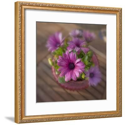 Daisies Planted in Pot-Arctic-Images-Framed Photographic Print