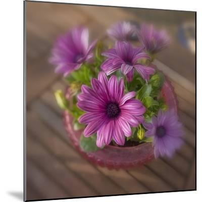 Daisies Planted in Pot-Arctic-Images-Mounted Photographic Print