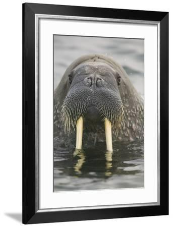 Walrus Looking Straight Ahead-DLILLC-Framed Photographic Print