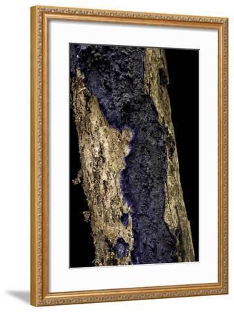 Terana Caerulea (Cobalt Crust, Velvet Blue Spread)-Paul Starosta-Framed Photographic Print