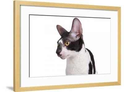 Cornish Rex Cat-Fabio Petroni-Framed Photographic Print