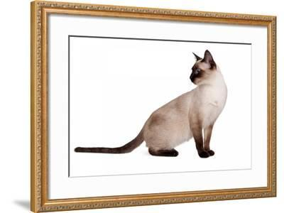 Siamese Thai Cat-Fabio Petroni-Framed Photographic Print