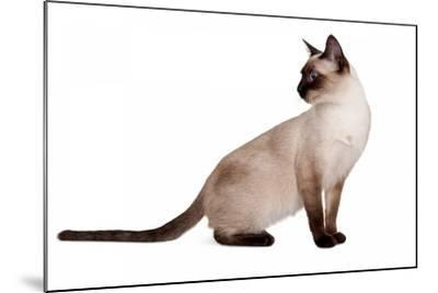 Siamese Thai Cat-Fabio Petroni-Mounted Photographic Print