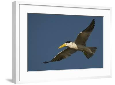 Large-Billed Tern-Joe McDonald-Framed Photographic Print