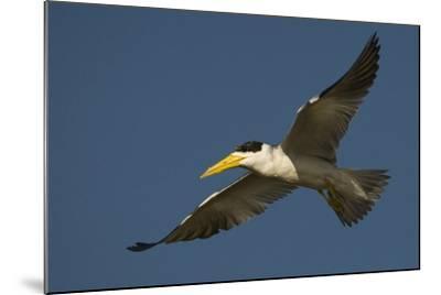 Large-Billed Tern-Joe McDonald-Mounted Photographic Print