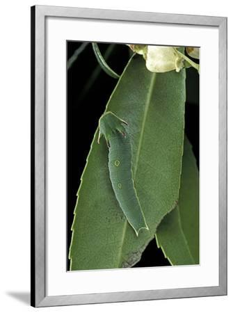 Charaxes Jasius (Two-Tailed Pasha) - Caterpillar on Strawberry Tree Leaf-Paul Starosta-Framed Photographic Print