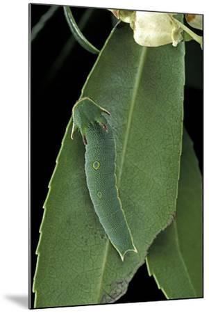 Charaxes Jasius (Two-Tailed Pasha) - Caterpillar on Strawberry Tree Leaf-Paul Starosta-Mounted Photographic Print