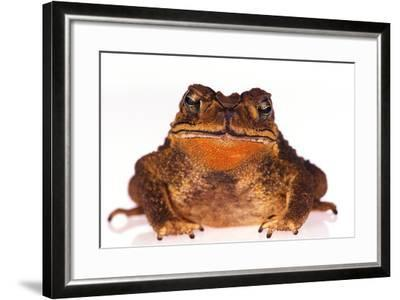 Black-Spined Toad-DLILLC-Framed Photographic Print