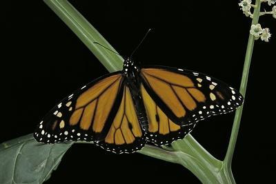 Danaus Plexippus (Monarch Butterfly)-Paul Starosta-Framed Photographic Print