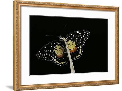 Chlosyne Janais (Janais Patch Butterfly, Crimson Patch)-Paul Starosta-Framed Photographic Print