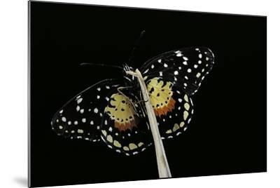 Chlosyne Janais (Janais Patch Butterfly, Crimson Patch)-Paul Starosta-Mounted Photographic Print