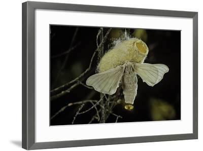 Bombyx Mori (Common Silkmoth) - Female Exposing its Scent Glands (Sacculi Laterales) to Attract Mal-Paul Starosta-Framed Photographic Print