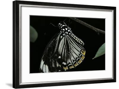 Papilio Clytia (Common Mime Swallowtail)-Paul Starosta-Framed Photographic Print
