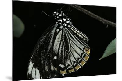 Papilio Clytia (Common Mime Swallowtail)-Paul Starosta-Mounted Photographic Print