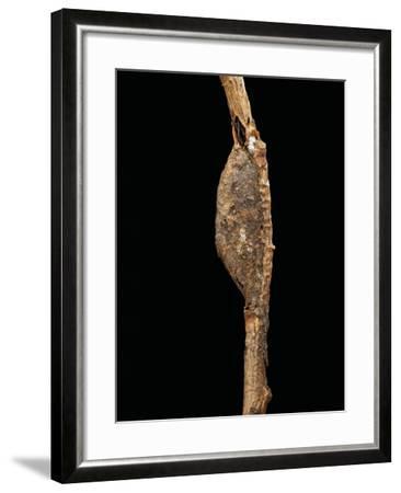 Cerura Vinula (Puss Moth) - Cocoon-Paul Starosta-Framed Photographic Print