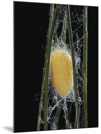 Bombyx Mori (Common Silkmoth) - Cocoon-Paul Starosta-Mounted Photographic Print