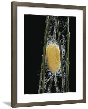 Bombyx Mori (Common Silkmoth) - Cocoon-Paul Starosta-Framed Photographic Print