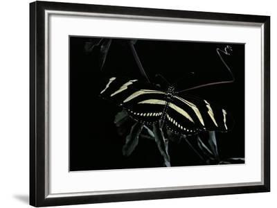 Heliconius Charithonia (Zebra Longwing)-Paul Starosta-Framed Photographic Print