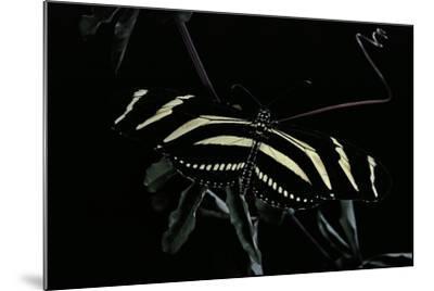 Heliconius Charithonia (Zebra Longwing)-Paul Starosta-Mounted Photographic Print