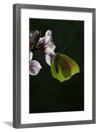 Gonepteryx Cleopatra (Cleopatra Butterfly)-Paul Starosta-Framed Photographic Print