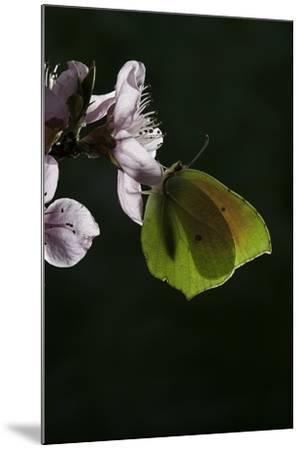 Gonepteryx Cleopatra (Cleopatra Butterfly)-Paul Starosta-Mounted Photographic Print