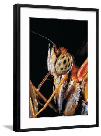Dryas Julia (Julia Butterfly, the Flame) - Portrait-Paul Starosta-Framed Photographic Print