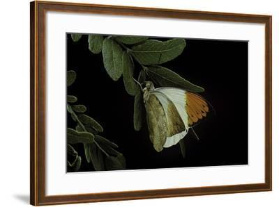 Hebomoia Glaucippe (Great Orange Tip)-Paul Starosta-Framed Photographic Print