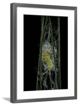 Bombyx Mori (Common Silkmoth) - Larva or Silkworm Spinning Cocoon-Paul Starosta-Framed Photographic Print