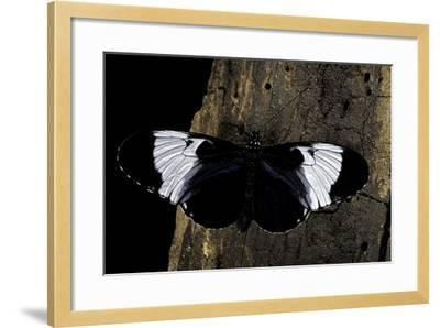 Heliconius Cydno (Cydno Longwing)-Paul Starosta-Framed Photographic Print
