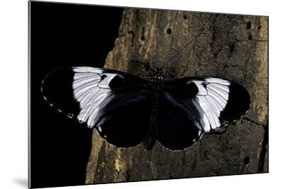 Heliconius Cydno (Cydno Longwing)-Paul Starosta-Mounted Photographic Print