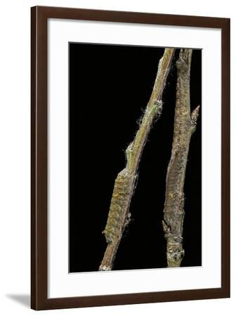 Gastropacha Quercifolia (Lappet Moth) - Caterpillars Camouflaged on Twigs-Paul Starosta-Framed Photographic Print