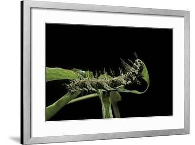 Dryas Julia (Julia Butterfly, the Flame) - Caterpillar Feeding on Passion Flower Leaf-Paul Starosta-Framed Photographic Print