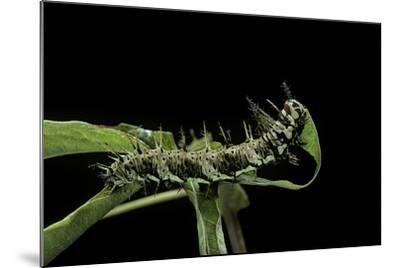 Dryas Julia (Julia Butterfly, the Flame) - Caterpillar Feeding on Passion Flower Leaf-Paul Starosta-Mounted Photographic Print