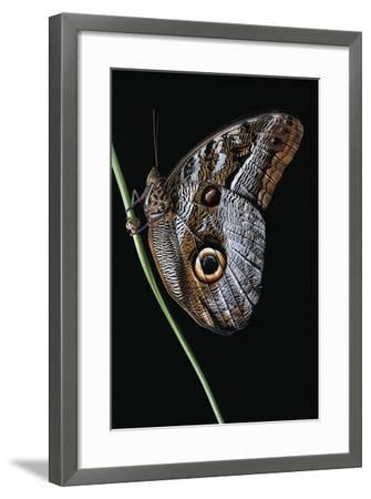 Caligo Idomeneus (Owl Butterfly)-Paul Starosta-Framed Photographic Print