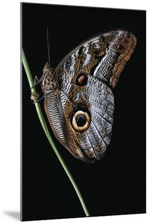 Caligo Idomeneus (Owl Butterfly)-Paul Starosta-Mounted Photographic Print