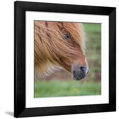 Portrait of Mare, Iceland-Arctic-Images-Framed Photographic Print