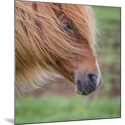 Portrait of Mare, Iceland-Arctic-Images-Mounted Photographic Print