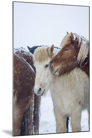 Horses outside during a Snowstorm.-Arctic-Images-Mounted Photographic Print